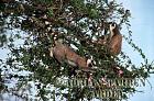 Ring-tailed Lemurs (Lemur catta) feeding, Berenty, Southern Madagascar