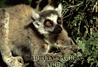Ring-tailed Lemur (Lemur catta) feeding on Tamarind tree, Berenty, Southern Madagascar