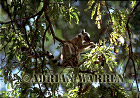 Ring-tailed Lemur (Lemur catta) feeding on Tamarind pod, Berenty, Southern Madagascar