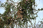 Ring-tailed Lemur (Lemur catta) feeding on tree, Berenty, Southern Madagascar