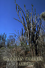 Didierea Forest, Spiny Forest, Hazofotsy, Madagascar