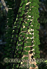 Alluaudia procera (Didieraceae), Spiny Forest, Hazofotsy, Madagascar