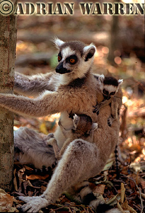 Ring-tailed Lemurs (Lemur catta) mother with twin babies, Berenty, Southern Madagascar