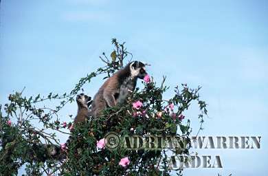 Ring-tailed Lemurs (Lemur catta) mother and baby on tree top, Berenty, Southern Madagascar