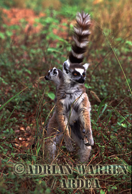Ring-tailed Lemurs (Lemur catta) mother with baby, Berenty, Southern Madagascar