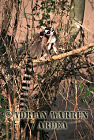 Ring-tailed Lemurs (Lemur catta) mother and baby, Berenty, Southern Madagascar