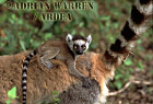 Ring-tailed Lemurs (Lemur catta) baby on mother back, Berenty, Southern Madagascar