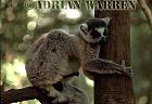 Ring-tailed Lemur (Lemur catta) male, Berenty, Southern Madagascar