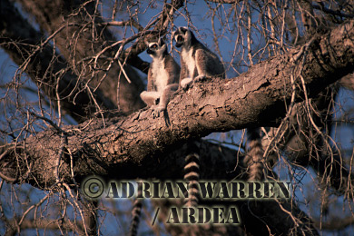 Ring-tailed Lemurs (Lemur catta), Berenty, Southern Madagascar