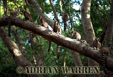 Ring-tailed Lemurs (Lemur catta) group resting on tree, Berenty, Southern Madagascar