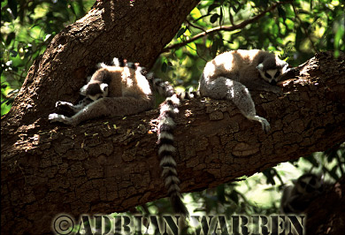 Ring-tailed Lemurs (Lemur catta) taking siesta, Berenty, Southern Madagascar