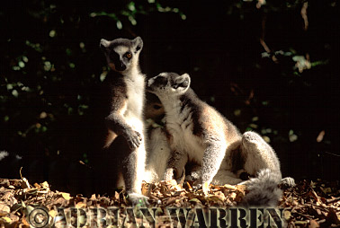 Ring-tailed Lemurs (Lemur catta) grooming, Berenty, Southern Madagascar