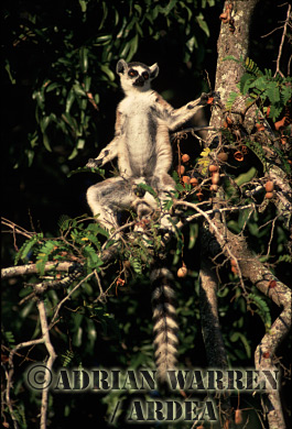 Ring-tailed Lemur (Lemur catta) sunbathing on Tamarind tree, Berenty, Southern Madagascar