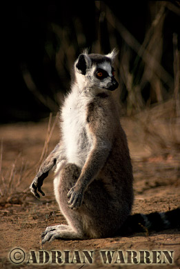 Ring-tailed Lemur (Lemur catta) sunbathing, Berenty, Southern Madagascar
