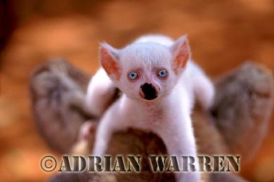 Ring-tailed Lemurs (Lemur catta) : all white baby male (Sapphire), Berenty, Southern Madagascar