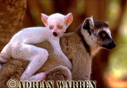 Ring-tailed Lemurs (Lemur catta) : all white baby male (Sapphire) with mother, Berenty, Southern Madagascar