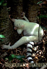 Ring-tailed Lemurs (Lemur catta) : all white baby male (Sapphire), Berenty, Southern Madagascar