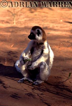 Verreaux's Sifaka (Propithecus verreauxi) feeding, Berenty, Southern Madagascar