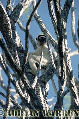 Verreaux's Sifaka (Propithecus verreauxi) feeding on Didieraceae, Berenty, Southern Madagascar