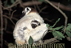 Verreaux's Sifaka (Propithecus verreauxi) mother with baby, Berenty, Southern Madagascar