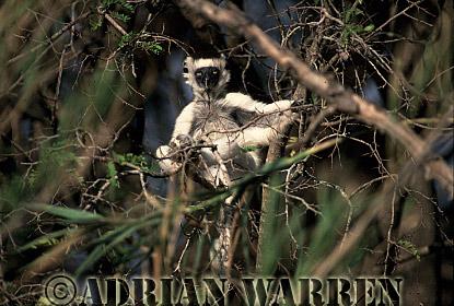 Verreaux's Sifaka (Propithecus verreauxi) sunbahing, Berenty, Southern Madagascar