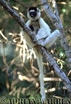 Verreaux's Sifaka (Propithecus verreauxi), Berenty, Southern Madagascar