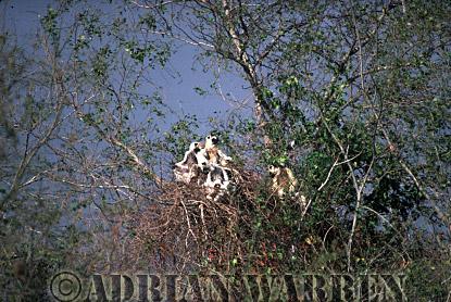Verreaux's Sifaka (Propithecus verreauxi) group sunbathing on treetop, Berenty, Southern Madagascar