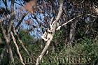 Verreaux's Sifaka (Propithecus verreauxi) sunbathing, Berenty, Southern Madagascar