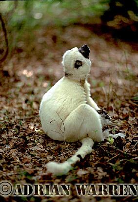 Verreaux's Sifaka (Propithecus verreauxi), -All White Male-, Berenty, Southern Madagascar