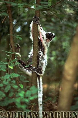 Verreaux's Sifaka (Propithecus verreauxi), -Grandpa-, Berenty, Southern Madagascar
