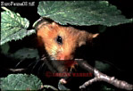 DORMOUSE (Muscardinus avellanarius), England