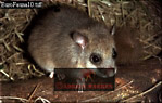 Edible DORMOUSE (Glis glis), England