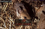 Long-tailed Field Mouse (Apodemus styvaticus), England