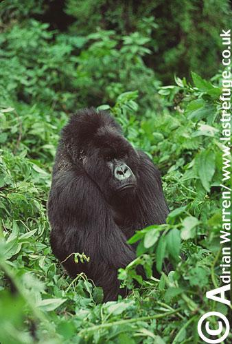 Mountain Gorilla (Gorilla g. beringei), Virunga Volcanoes, Rwanda, 1990