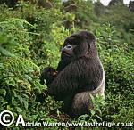 Mountain Gorilla (Gorilla g. beringei), Virunga Volcanoes, Rwanda, 2003