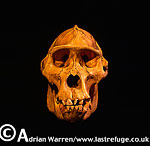Mountain Gorilla Skull (Gorilla g. beringei), holotype 1902, Museum fur Natuurkunde, Berlin, Discovered by Captain Robert von Beringe, Virunga Volcanoes, Rwanda