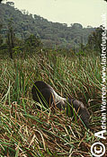 Eastern Lowland GORILLA (Gorilla g. graueri), Virunga Volcanoes, Rwanda, 1991