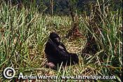 Eastern Lowland GORILLA (Gorilla g. graueri), Virunga Volcanoes, Rwanda, 1992