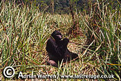 Eastern Lowland GORILLA (Gorilla g. graueri), Virunga Volcanoes, Rwanda, 1993