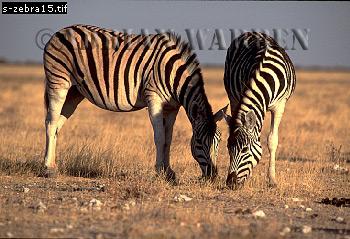 Burchell's ZEBRA (Equus burchelli), Etosha National Park, Namibia