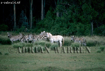 (Albino) Burchell's ZEBRA (Equus burchelli), Game Ranch, Nanyuki, Kenya
