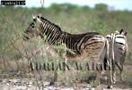 Burchell's ZEBRA (Equus burchelli) with odd markings, Etosha National Park, Namibia