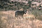 Burchell's ZEBRA (Equus burchelli), Tsavo West, Kenya