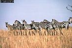 Burchell's ZEBRA (Equus burchelli), Masai Mara, Kenya