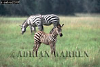 Burchell's ZEBRA (Equus burchelli), Akagera Nat. Park, Rwanda, 1989