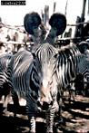 Grevy's ZEBRA (Equus grevyi), Samburu, Kenya