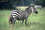Burchell's ZEBRA (Equus burchelli), Akagera National Park, Rwanda, 1989