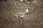 Cape Mountain ZEBRA (Equus zebra), South Africa