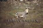 Cape Mountain ZEBRA (Equus zebra), South Africa