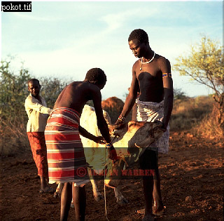 POKOT TRIBE: taking blood from Cattle to mix with milk, Northern Kenya